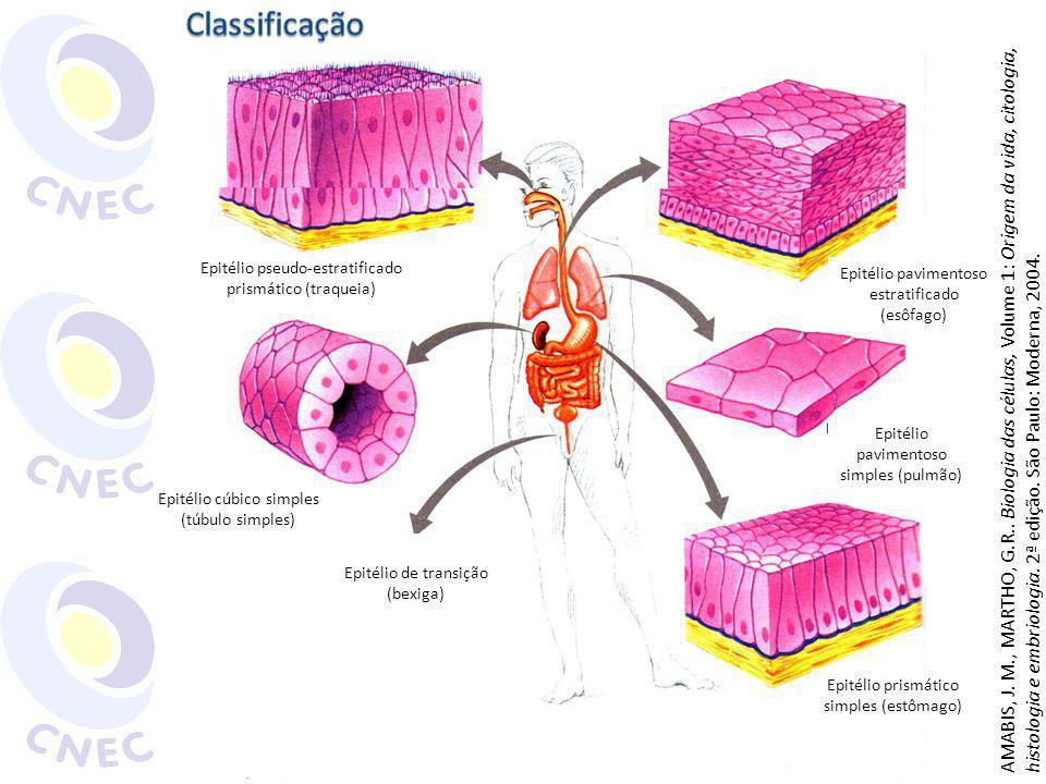 Classificação Epitélio pseudo-estratificado prismático (traqueia) Epitélio pavimentoso estratificado (esôfago)
