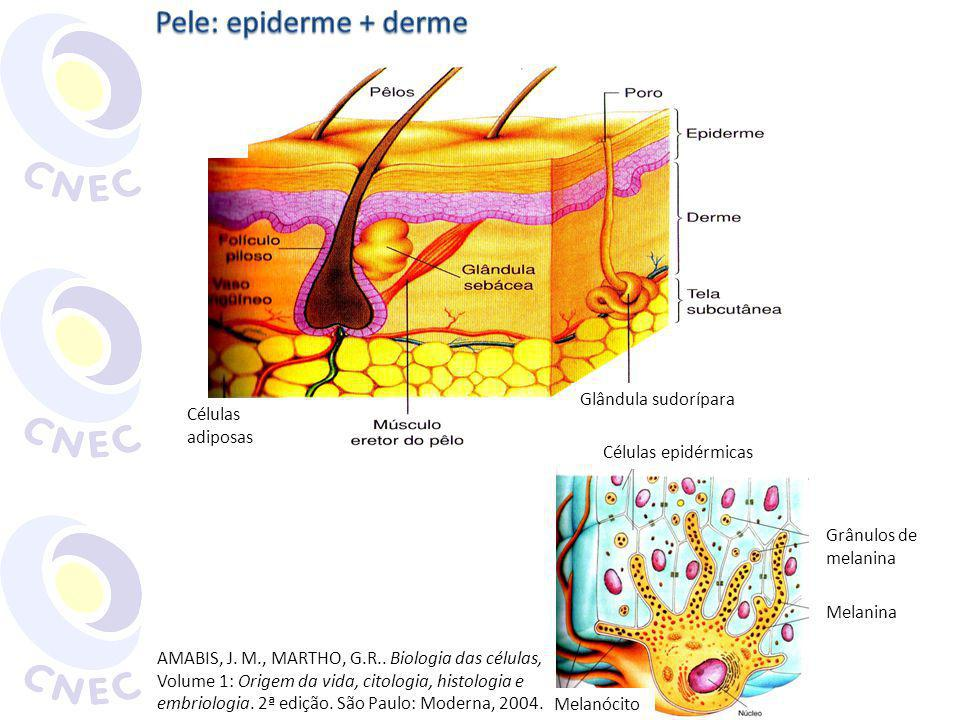 Pele: epiderme + derme Glândula sudorípara Células adiposas