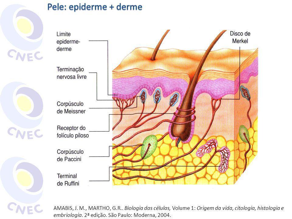Pele: epiderme + derme
