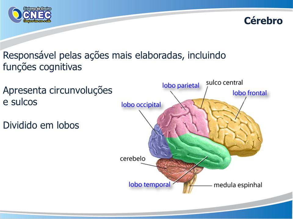 Cérebro Responsável pelas ações mais elaboradas, incluindo funções cognitivas. Apresenta circunvoluções.