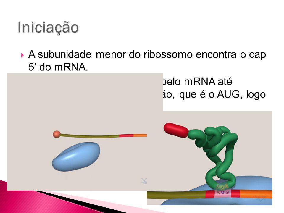 Iniciação A subunidade menor do ribossomo encontra o cap 5' do mRNA.
