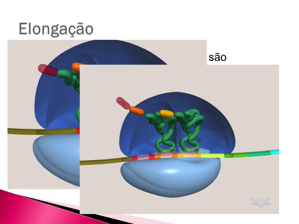 Elongação Depois disso, os sucessivos tRNAs são adicionados ao sítio A do ribossomo.