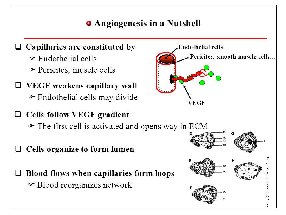 Angiogenesis in a Nutshell