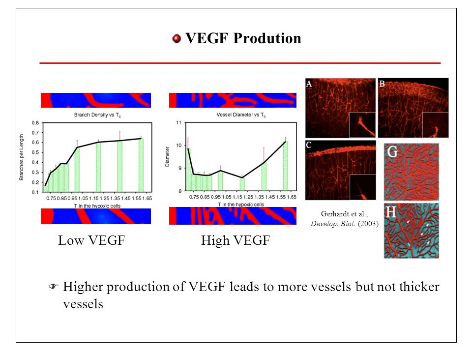 VEGF Prodution Higher production of VEGF leads to more vessels but not thicker vessels. Low VEGF. High VEGF.