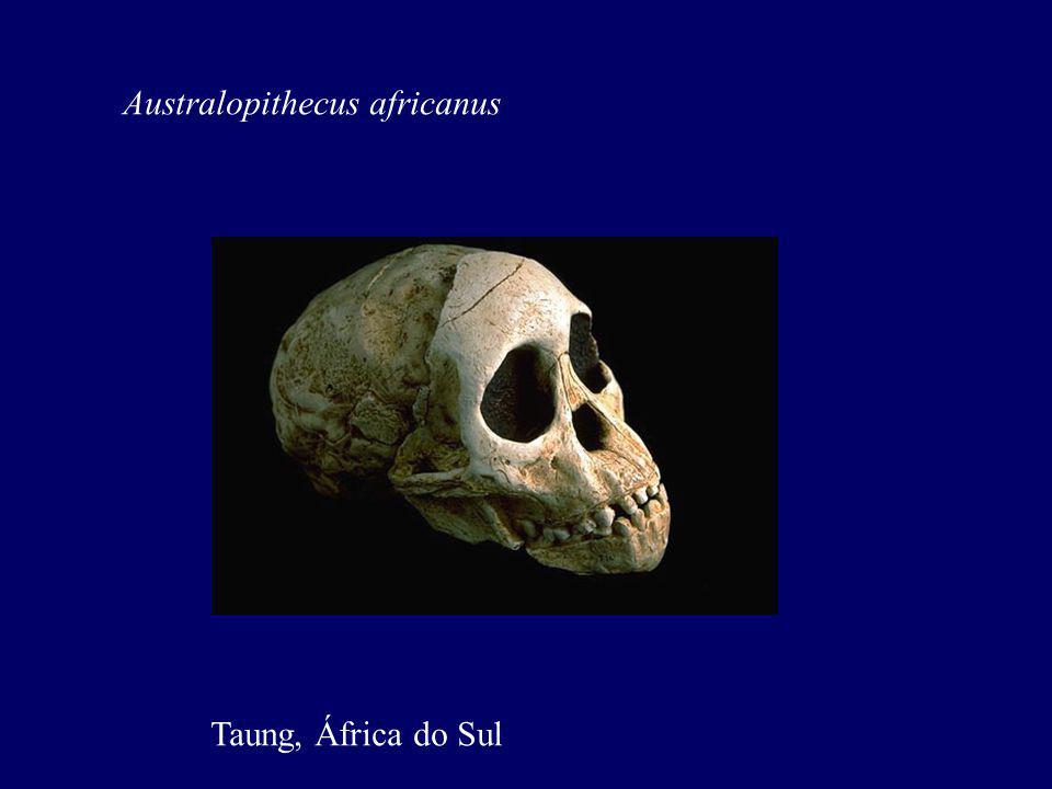 Australopithecus africanus