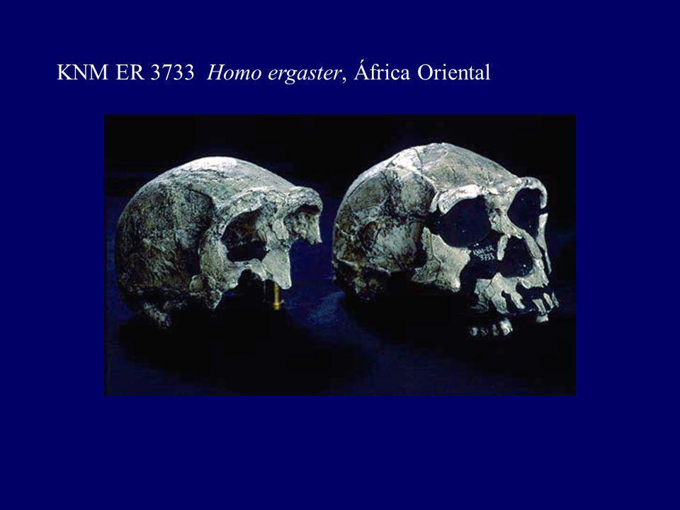 KNM ER 3733 Homo ergaster, África Oriental