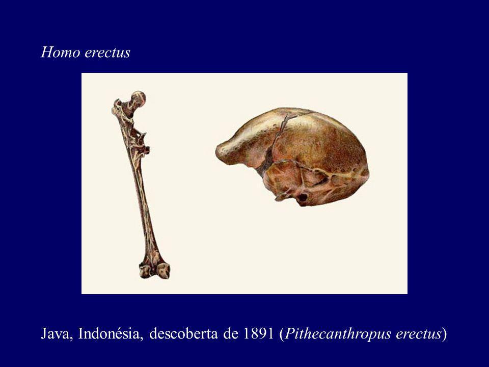 Homo erectus Java, Indonésia, descoberta de 1891 (Pithecanthropus erectus)
