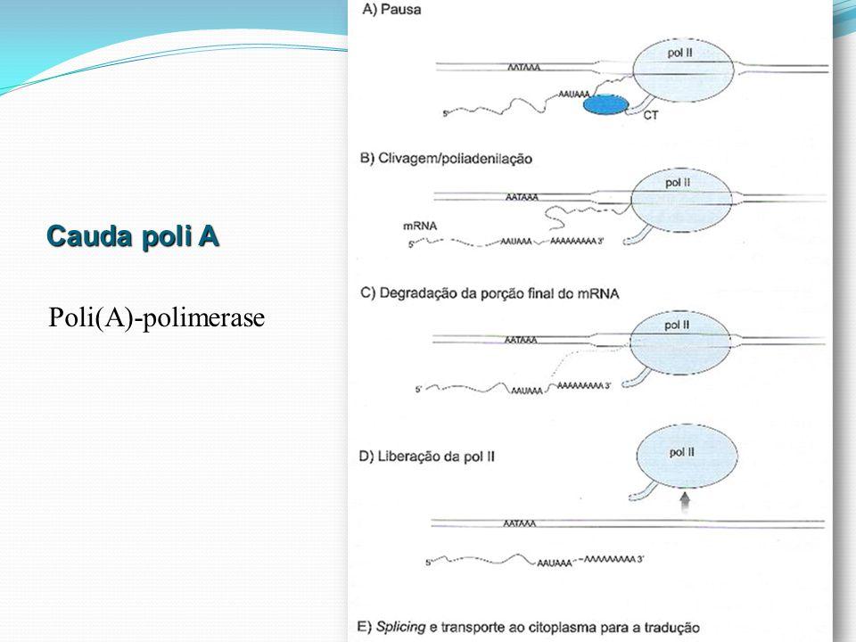 Cauda poli A Poli(A)-polimerase