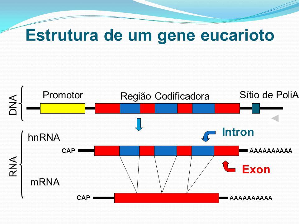 Estrutura de um gene eucarioto