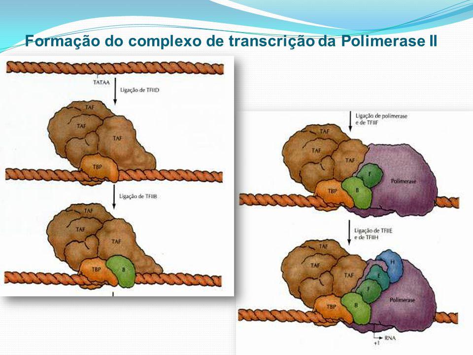 Formação do complexo de transcrição da Polimerase II