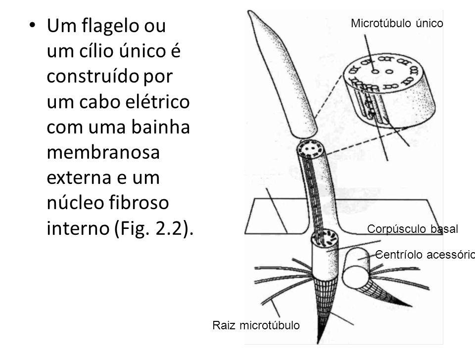 Um flagelo ou um cílio único é construído por um cabo elétrico com uma bainha membranosa externa e um núcleo fibroso interno (Fig. 2.2).