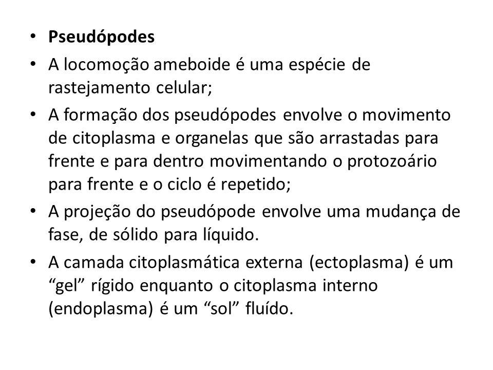 Pseudópodes A locomoção ameboide é uma espécie de rastejamento celular;