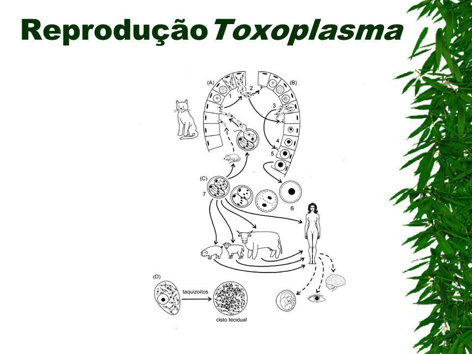 ReproduçãoToxoplasma