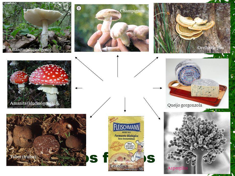 os fungos Champignon Orelha de pau Amanita (alucinógeno)