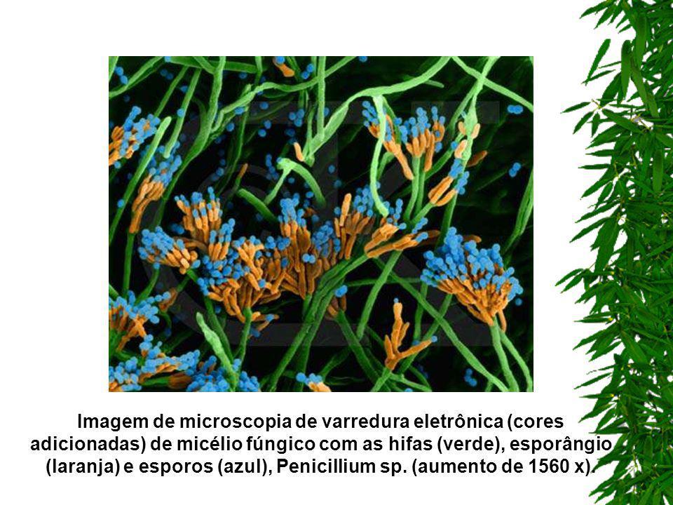 Imagem de microscopia de varredura eletrônica (cores adicionadas) de micélio fúngico com as hifas (verde), esporângio (laranja) e esporos (azul), Penicillium sp.