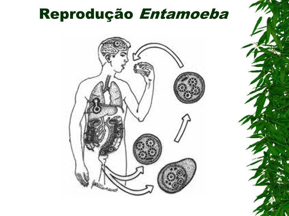 Reprodução Entamoeba