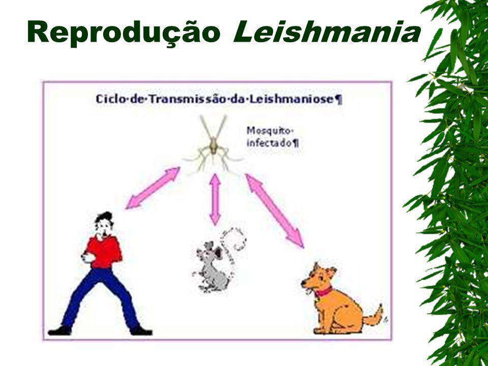 Reprodução Leishmania