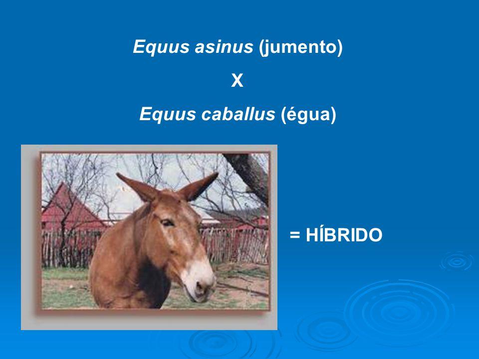 Equus asinus (jumento)