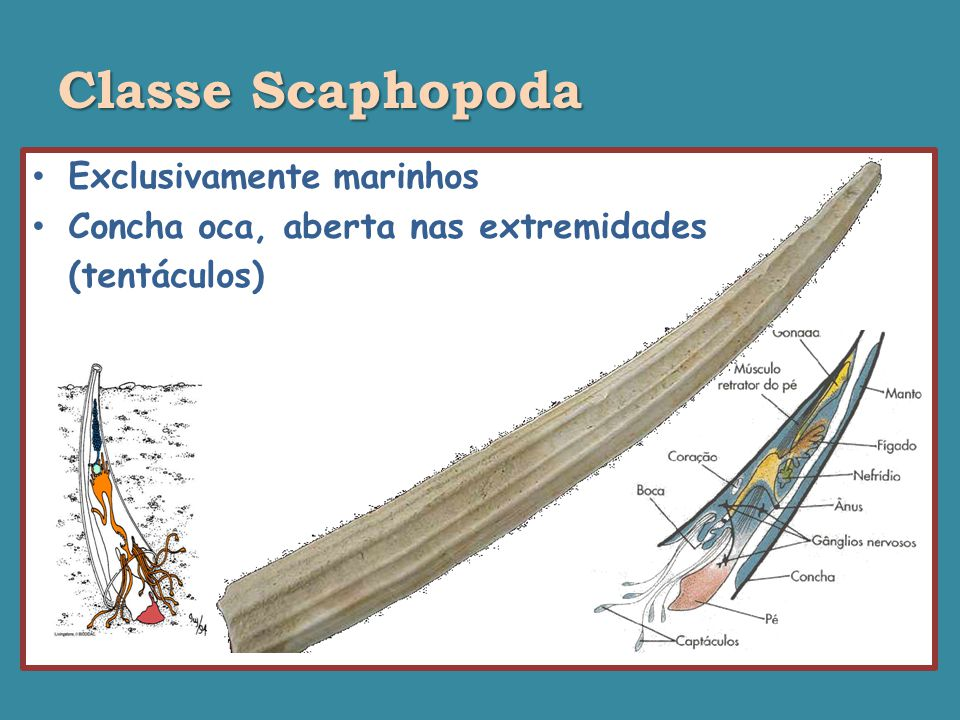 Classe Scaphopoda Exclusivamente marinhos