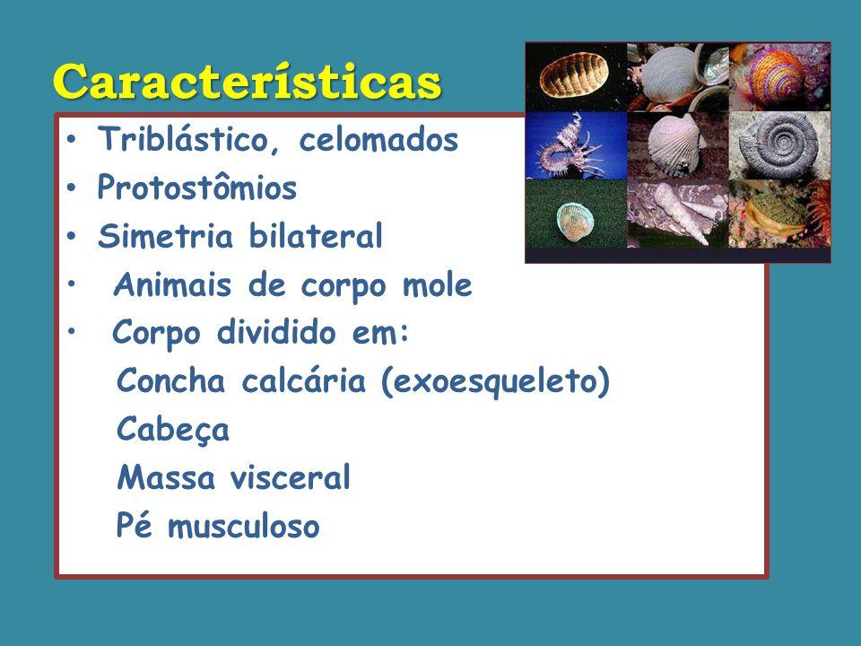 Características Triblástico, celomados Protostômios Simetria bilateral