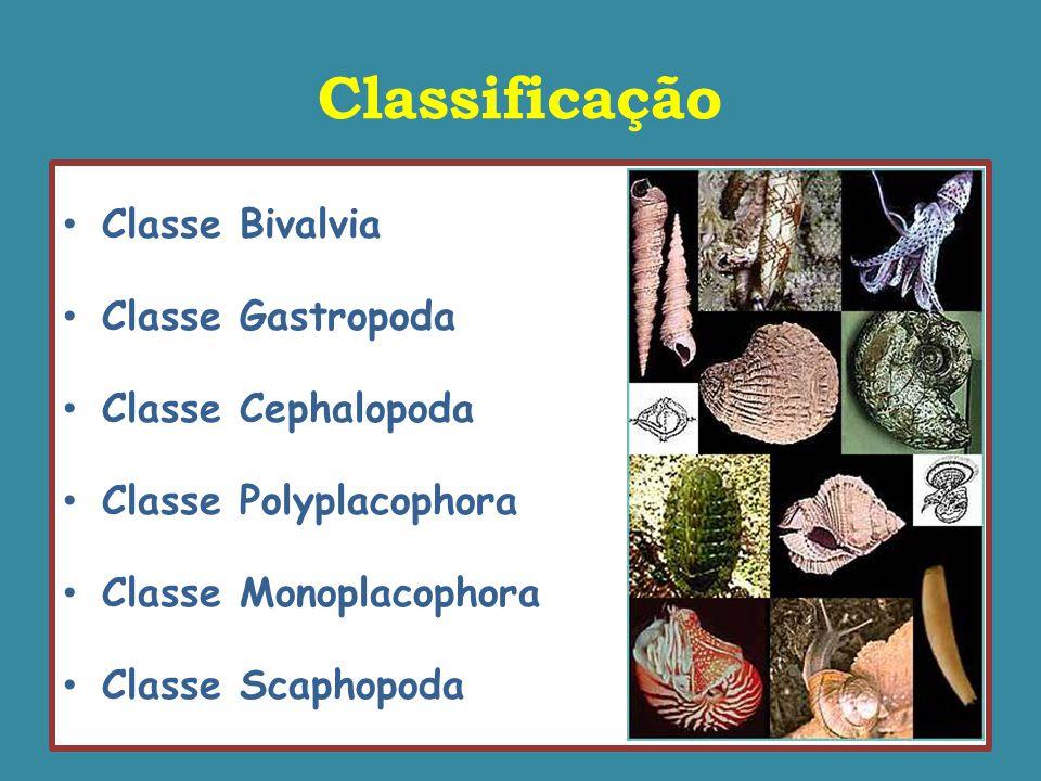 Classificação Classe Bivalvia Classe Gastropoda Classe Cephalopoda