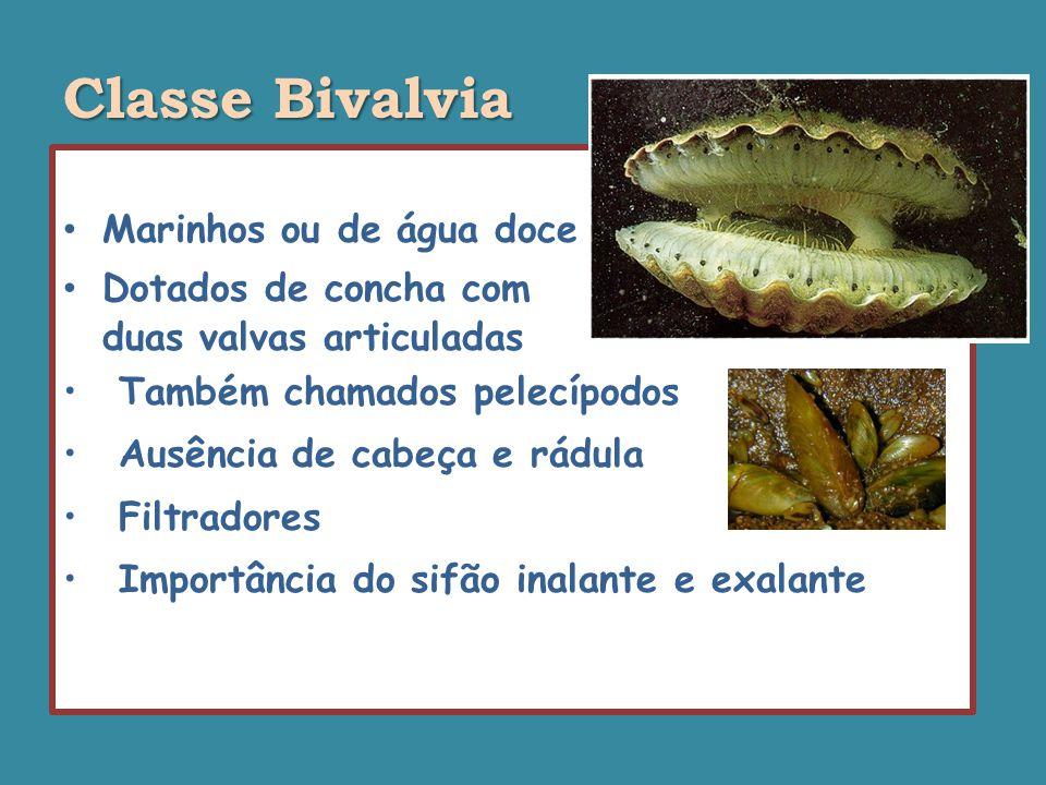 Classe Bivalvia Marinhos ou de água doce Dotados de concha com
