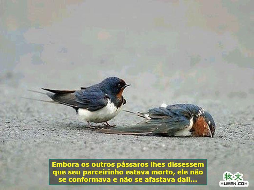 Embora os outros pássaros lhes dissessem que seu parceirinho estava morto, ele não se conformava e não se afastava dali...
