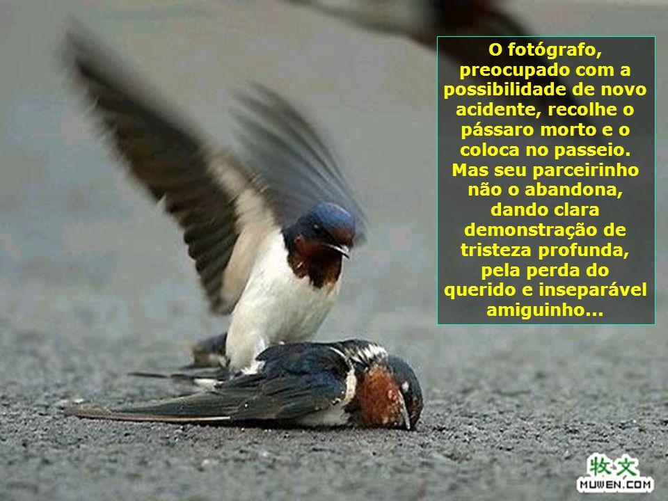 O fotógrafo, preocupado com a possibilidade de novo acidente, recolhe o pássaro morto e o coloca no passeio.