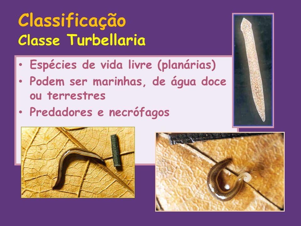 Classificação Classe Turbellaria