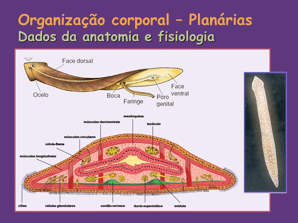 Organização corporal – Planárias Dados da anatomia e fisiologia