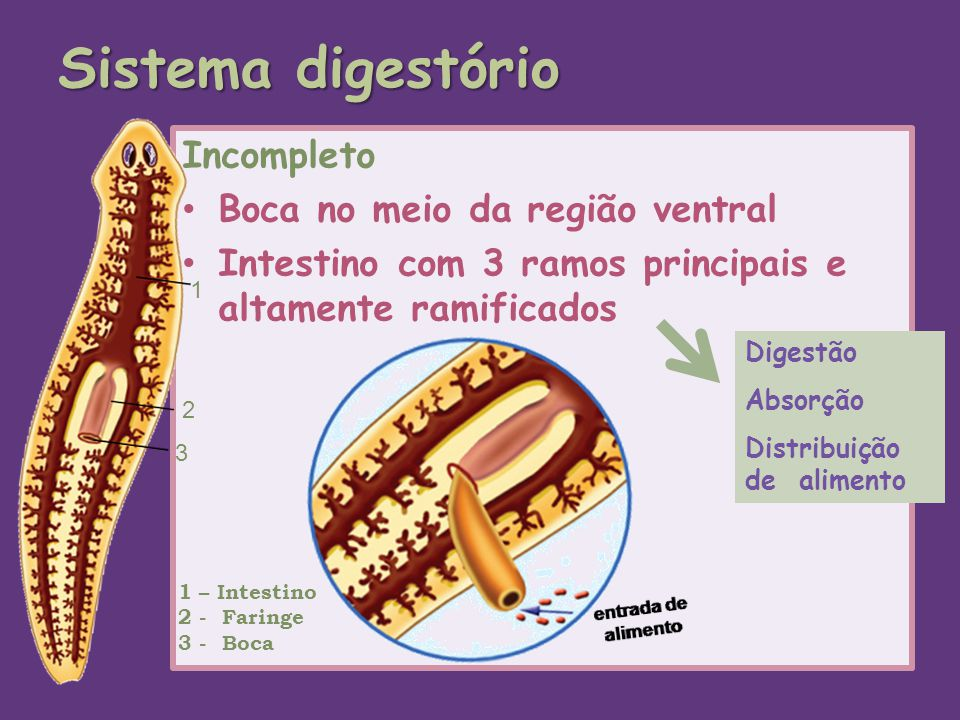 Sistema digestório Incompleto Boca no meio da região ventral