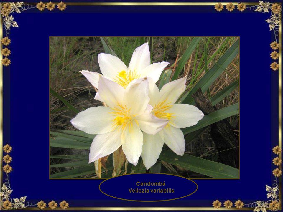 Candombá Vellozia variabilis