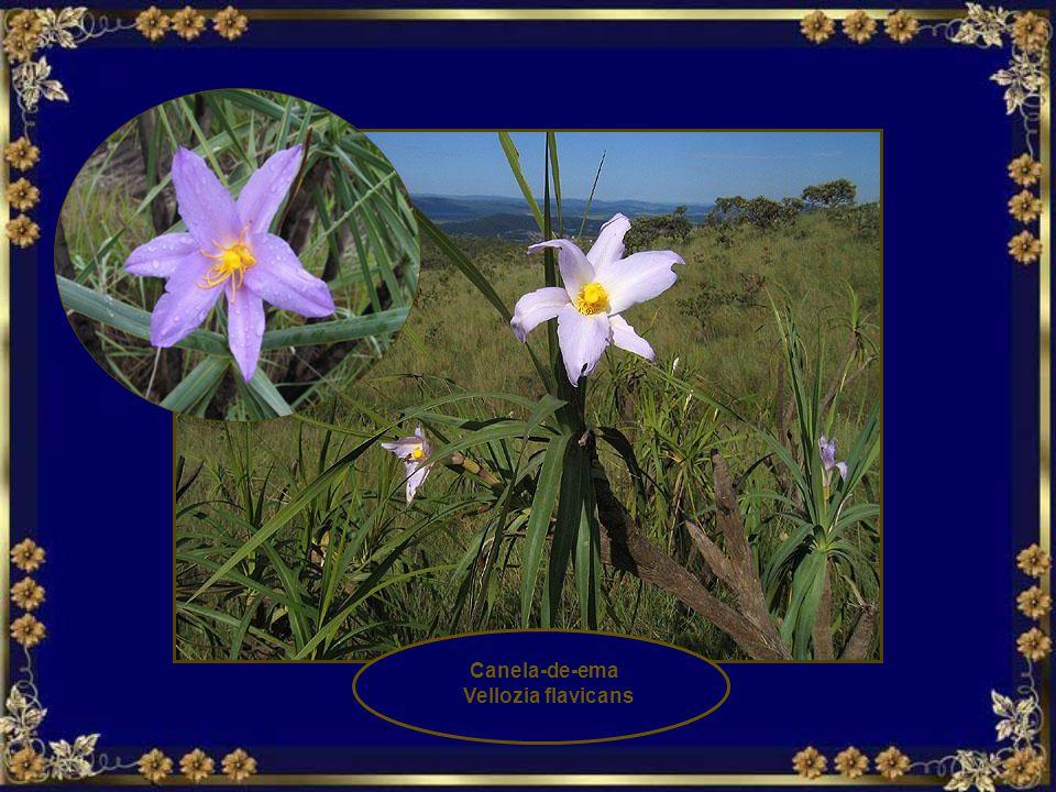 Canela-de-ema Vellozia flavicans