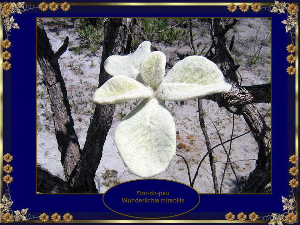 Wunderlichia mirabilis