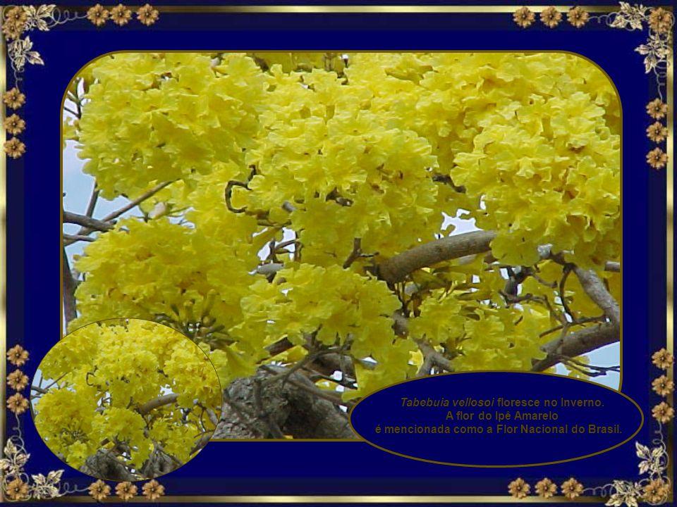 Tabebuia vellosoi floresce no Inverno. A flor do Ipê Amarelo