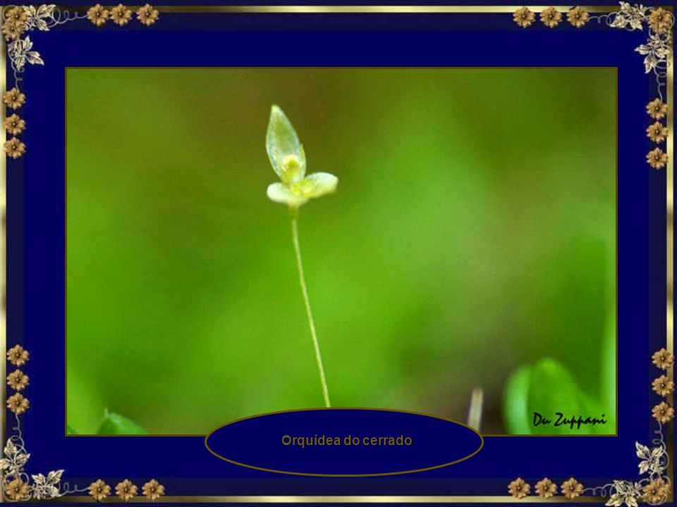 Orquídea do cerrado