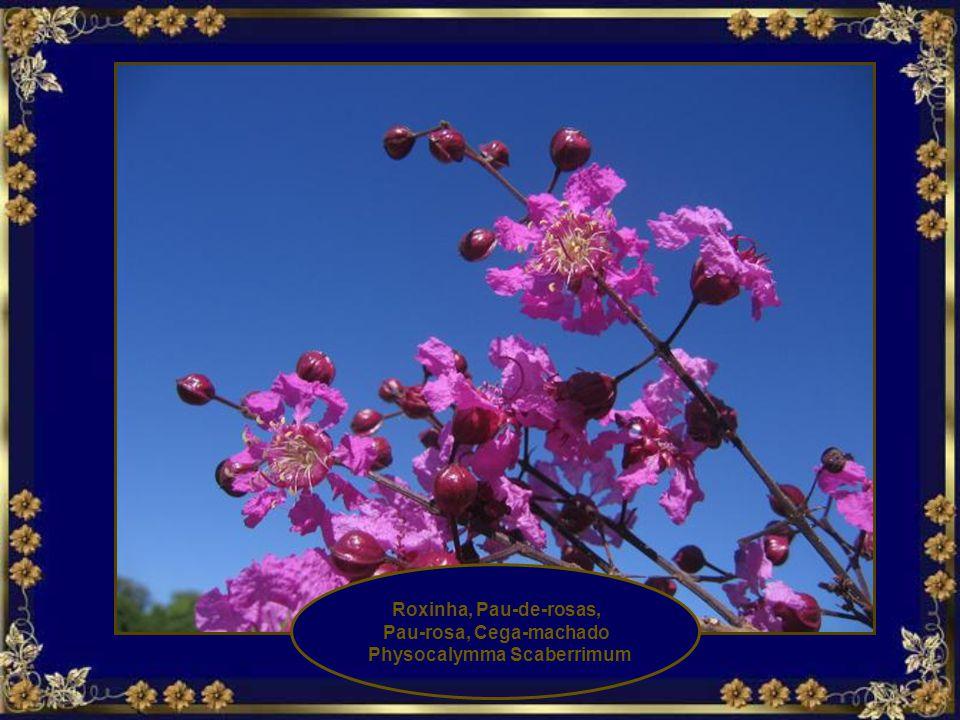 Pau-rosa, Cega-machado Physocalymma Scaberrimum