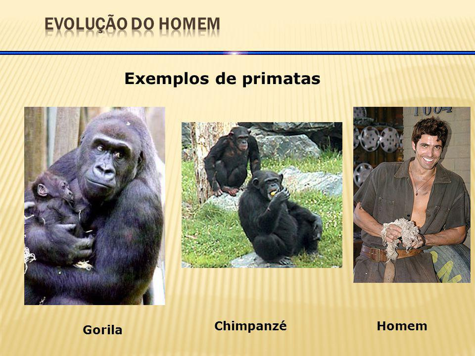 EVOLUÇÃO DO HOMEM Exemplos de primatas Chimpanzé Homem Gorila