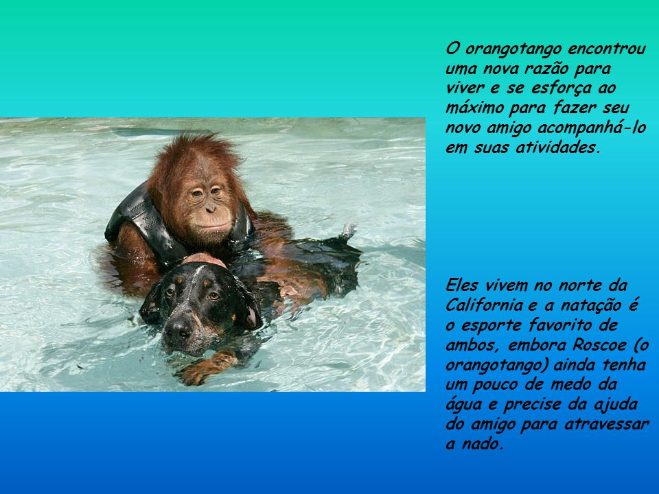 O orangotango encontrou uma nova razão para viver e se esforça ao máximo para fazer seu novo amigo acompanhá-lo em suas atividades.