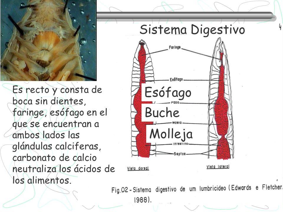 Sistema Digestivo Esófago Buche Molleja
