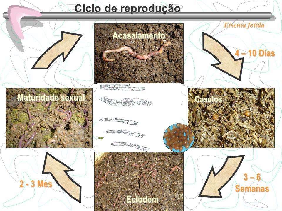 Ciclo de reprodução Acasalamento 4 – 10 Días Maturidade sexual