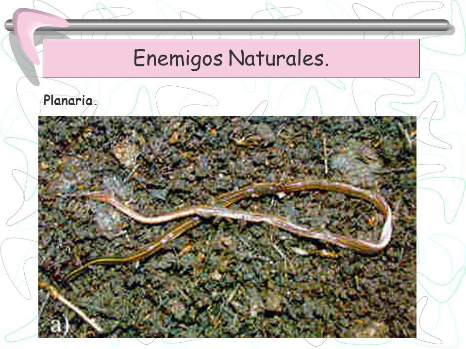 Enemigos Naturales. Planaria.