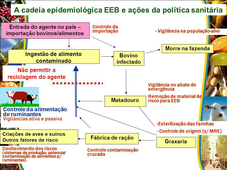 A cadeia epidemiológica EEB e ações da política sanitária