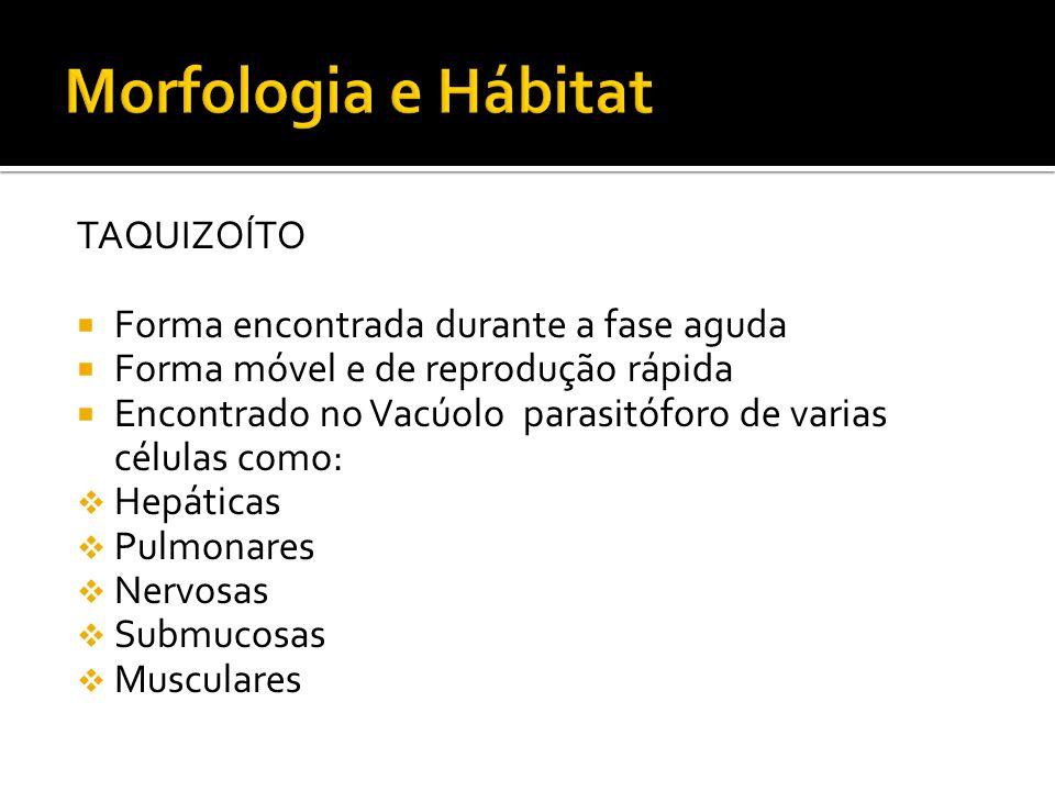 Morfologia e Hábitat TAQUIZOÍTO Forma encontrada durante a fase aguda