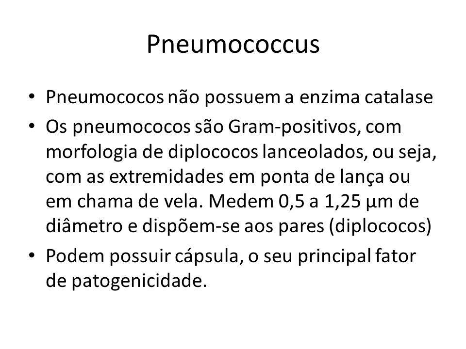 Pneumococcus Pneumococos não possuem a enzima catalase