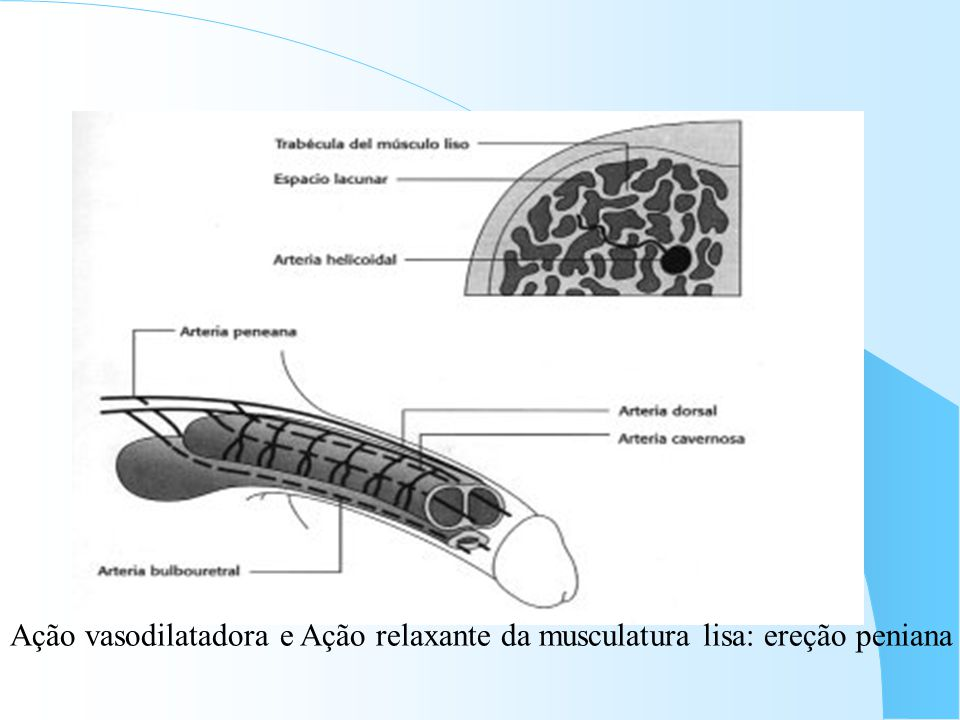Ação vasodilatadora e Ação relaxante da musculatura lisa: ereção peniana