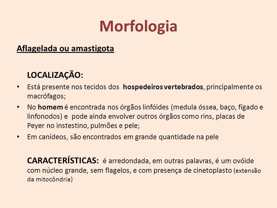 Morfologia Aflagelada ou amastigota LOCALIZAÇÃO: