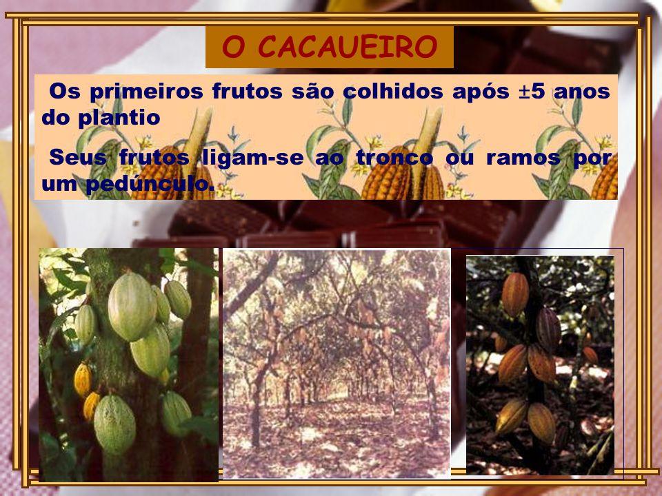 O CACAUEIRO Os primeiros frutos são colhidos após ±5 anos do plantio