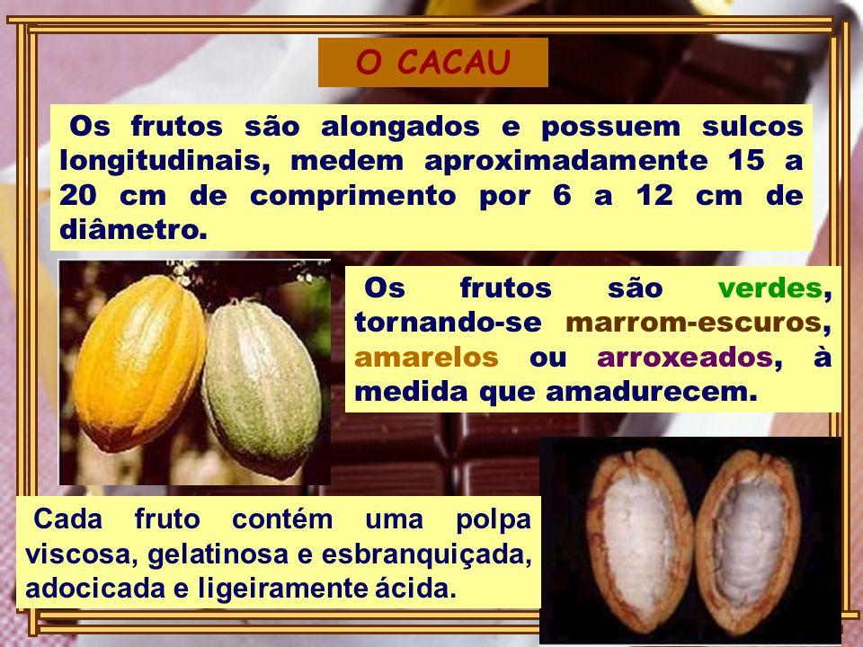 O CACAU Os frutos são alongados e possuem sulcos longitudinais, medem aproximadamente 15 a 20 cm de comprimento por 6 a 12 cm de diâmetro.