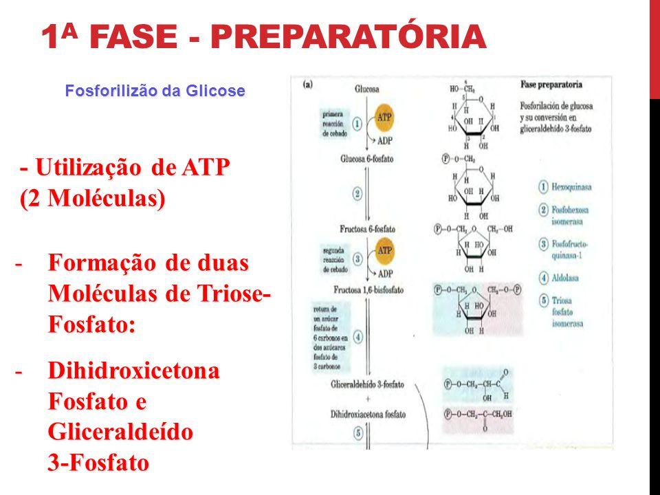 1a Fase - Preparatória - Utilização de ATP (2 Moléculas)